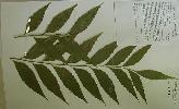 Photo of Bowenia serrulata (Byfield fern) - Queensland Herbarium, DES