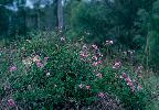 Photo of Lantana montevidensis (creeping lantana) - Dowling, R.,Queensland Herbarium, DES