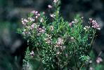 Photo of Comesperma ericinum () - Queensland Herbarium, DES