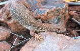 Photo of Varanus storri (Storr