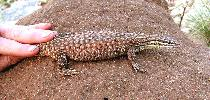 Photo of Varanus acanthurus (ridge-tailed monitor) - Greig, C.,NPRSR,2007