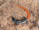 Photo of Proablepharus tenuis (northern soil-crevice skink) - Greig, C.,QPWS,2007