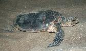 Photo of Eretmochelys imbricata (hawksbill turtle) - Queensland Government