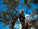 Photo of Calyptorhynchus lathami lathami (glossy black-cockatoo (eastern)) - Queensland Government