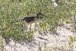 Photo of Numenius phaeopus (whimbrel) - McDougall, A.,QPWS,2007