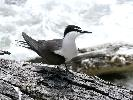 Photo of Onychoprion anaethetus (bridled tern) - McDougall, A.,QPWS,2007