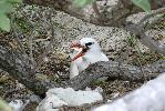 Photo of Phaethon rubricauda (red-tailed tropicbird) - McDougall, A.,QPWS,2007