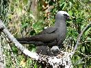 Photo of Anous minutus (black noddy) - McDougall, A.,QPWS,2007