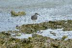 Photo of Tringa incana (wandering tattler) - McDougall, A.,QPWS,2007