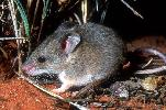 Photo of Pseudomys hermannsburgensis (sandy inland mouse) - Dollery, C.,QPWS,2001