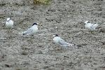 Photo of Sternula albifrons (little tern) - McDougall, A.,QPWS,2008