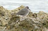 Photo of Tringa incana (wandering tattler) - McDougall, A.,QPWS,2008