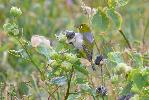 Photo of Zosterops lateralis (silvereye) - McDougall, A.,QPWS,2008