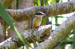 Photo of Todiramphus sanctus (sacred kingfisher) - McDougall, A.,QPWS,2008