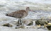 Photo of Limosa lapponica baueri (Western Alaskan bar-tailed godwit) - McDougall, A.,QPWS,2008