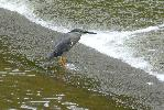Photo of Butorides striata (striated heron) - McDougall, A.,QPWS,2009