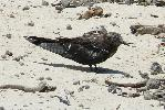 Photo of Onychoprion fuscatus (sooty tern) - McDougall, A.,QPWS,2009