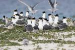 Photo of Thalasseus bergii (crested tern) - McDougall, A.,QPWS,2009