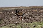 Photo of Tribonyx ventralis (black-tailed native-hen) - McDougall, A.,QPWS,2009