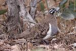 Photo of Geophaps scripta (squatter pigeon) - McDougall, A.,QPWS,2009