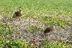 Photo of Dendrocygna eytoni (plumed whistling-duck) - McDougall, A.,QPWS,2008