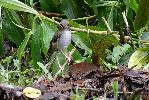 Photo of Heteromyias cinereifrons (grey-headed robin) - McDougall, A.,QPWS,2009
