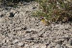 Photo of Epthianura crocea (yellow chat) - McDougall, A.,QPWS,2006