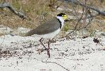Photo of Vanellus miles (masked lapwing) - McDougall, A.,QPWS,2008
