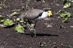 Photo of Vanellus miles novaehollandiae (masked lapwing (southern subspecies)) - McDougall, A.,QPWS,2009