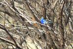 Photo of Malurus splendens (splendid fairy-wren) - McDougall, A.,QPWS,2010