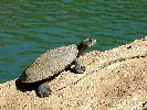 Photo of Elseya oneiros (Gulf snapping turtle) - Freeman, A.,Queensland Parks And Wildlife Service (QPWS),2010