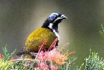 Photo of Entomyzon cyanotis (blue-faced honeyeater) - Adams, D.,Douglas J. Adams,2010