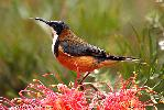 Photo of Acanthorhynchus tenuirostris (eastern spinebill) - Adams, D.,Douglas J. Adams,2010