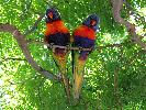 Photo of Trichoglossus haematodus moluccanus (rainbow lorikeet) - Jones, K.,Ken Jones,2011