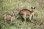 Photo of Macropus giganteus (eastern grey kangaroo) - Adams, D.,Douglas J. Adams,2011