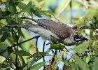 Photo of Philemon citreogularis (little friarbird) - Jones, K.,Ken Jones,2012