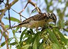 Photo of Plectorhyncha lanceolata (striped honeyeater) - Jones, K.,Ken Jones,2012