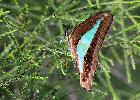 Photo of Graphium choredon (blue triangle) - Jones, K.,Ken Jones,2013