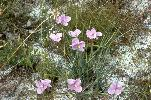 Photo of Patersonia sericea () - Ford, L.,NPRSR,1995