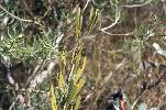 Photo of Persoonia virgata (small-leaved geebung) - Ford, L.,NPRSR,1995