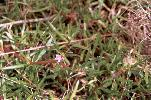 Photo of Sesuvium portulacastrum (sea purslane) - Ford, L.,QPWS,2001