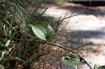 Photo of Smilax australis (barbed-wire vine) - Ford, L.,NPRSR,1995