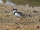 Photo of Elseyornis melanops (black-fronted dotterel) - Jones, K.,Ken Jones,2014