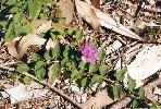 Photo of Lantana montevidensis (creeping lantana) - Ford, L.,QPWS,1995