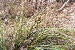 Photo of Lomandra longifolia () - Ford, L.,QPWS,2002