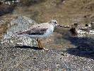 Photo of Xenus cinereus (terek sandpiper) - Jones, K.,Ken Jones,2015