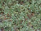 Photo of Sesuvium portulacastrum (sea purslane) - Ford, L.,QPWS