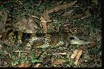 Photo of Tiliqua scincoides (eastern blue-tongued lizard) - Gynther, I.