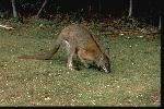 Photo of Macropus dorsalis (black-striped wallaby) - Gynther, I.,DEHP