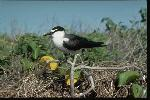 Photo of Onychoprion anaethetus (bridled tern) - Gynther, I.,DEHP